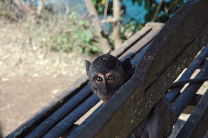Uluwatu monkey