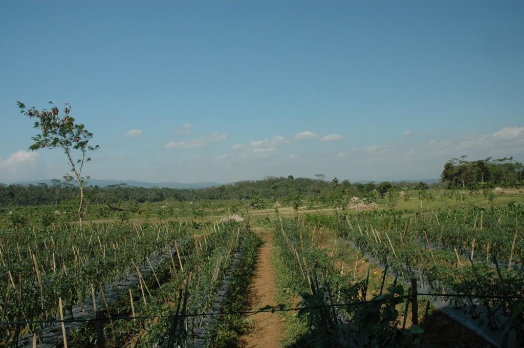 Singgih farmland